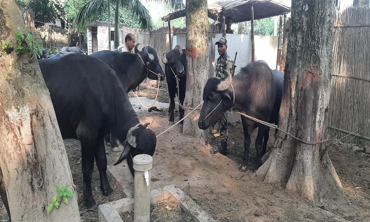 मुर्शिदाबाद में बीएसएफ जवानों पर पशु तस्करों ने की फायरिंग, जवाबी कार्रवाई में भागते 2 स्मगलर गिरफ्तार