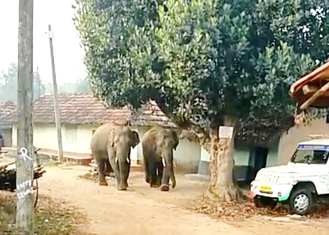 सिसई व भरनो में घूम रहे जंगली हाथी, पांच घरों को किया क्षतिग्रस्त, दहशत में लोग
