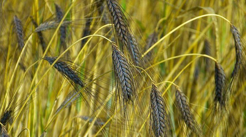 कोडरमा जिले में धान के क्रय की स्थिति ठीक नहीं, औने-पौने दामों में बेचने को विवश है किसान