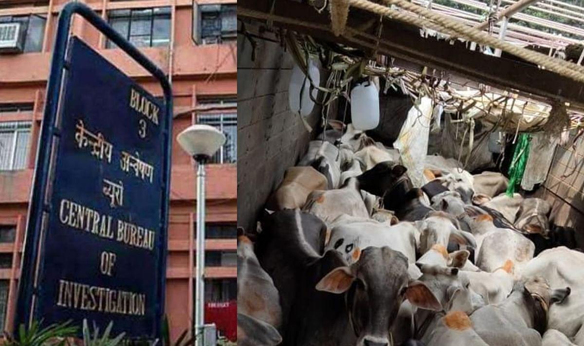 Cattle Smuggling: मवेशी तस्करी में करोड़ों का लेन-देन, एनामुल के खुलासे पर CBI ने कोलकाता में TMC नेता विनय मिश्रा के खिलाफ की कार्रवाई