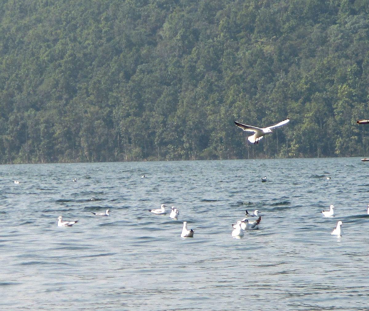 सैलानियों का मन मोह रहे सात समुंदर पार से आये विदेशी परिंदे