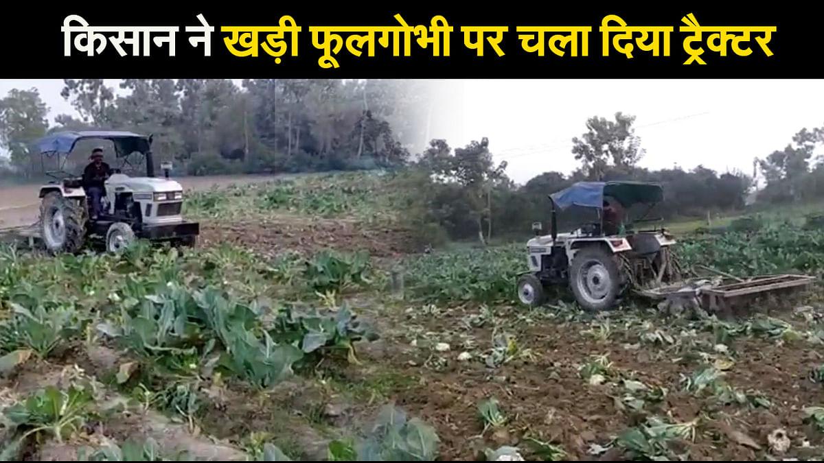 जानें क्यों समस्तीपुर में साढ़े चार एकड़ में लगी फूलगोभी पर किसान ने चला दिया ट्रैक्टर