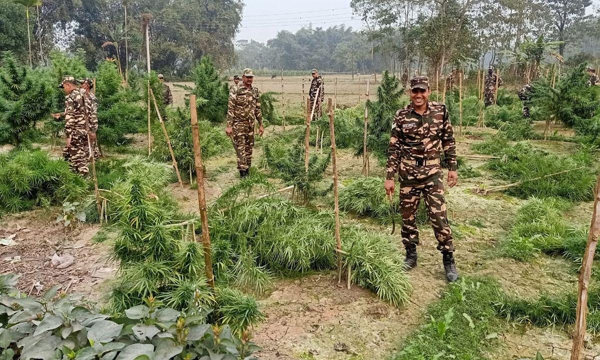 कूचबिहार के 2 गांवों में सौ एकड़ से अधिक गांजे की फसल को NCB की टीम ने किया नष्ट