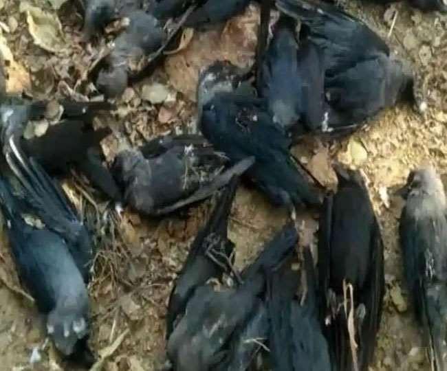 Bird Flu : हवा में मर कर घरों में भी गिर रहे हैं कौवे, मच गया हड़कंप