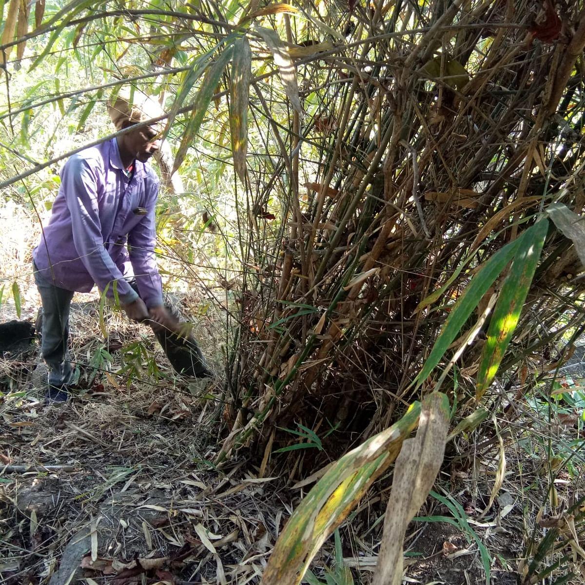 Bamboo Cultivation : अंग्रेजों के जमाने में बांस की खेती के लिए फेमस था बोकारो का झुमरा पहाड़, अवैध कटाई ने छीनी हरियाली, अब ऐसे किया जा रहा बांसों का संरक्षण