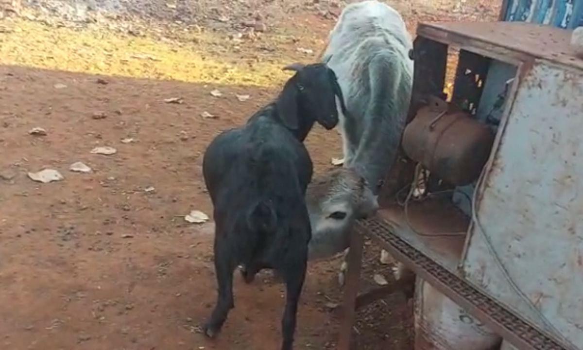 किरीबुरु में बकरी का दूध पीते बछड़े को देख आप भी चौंक जायेंगे, बना चर्चा का विषय
