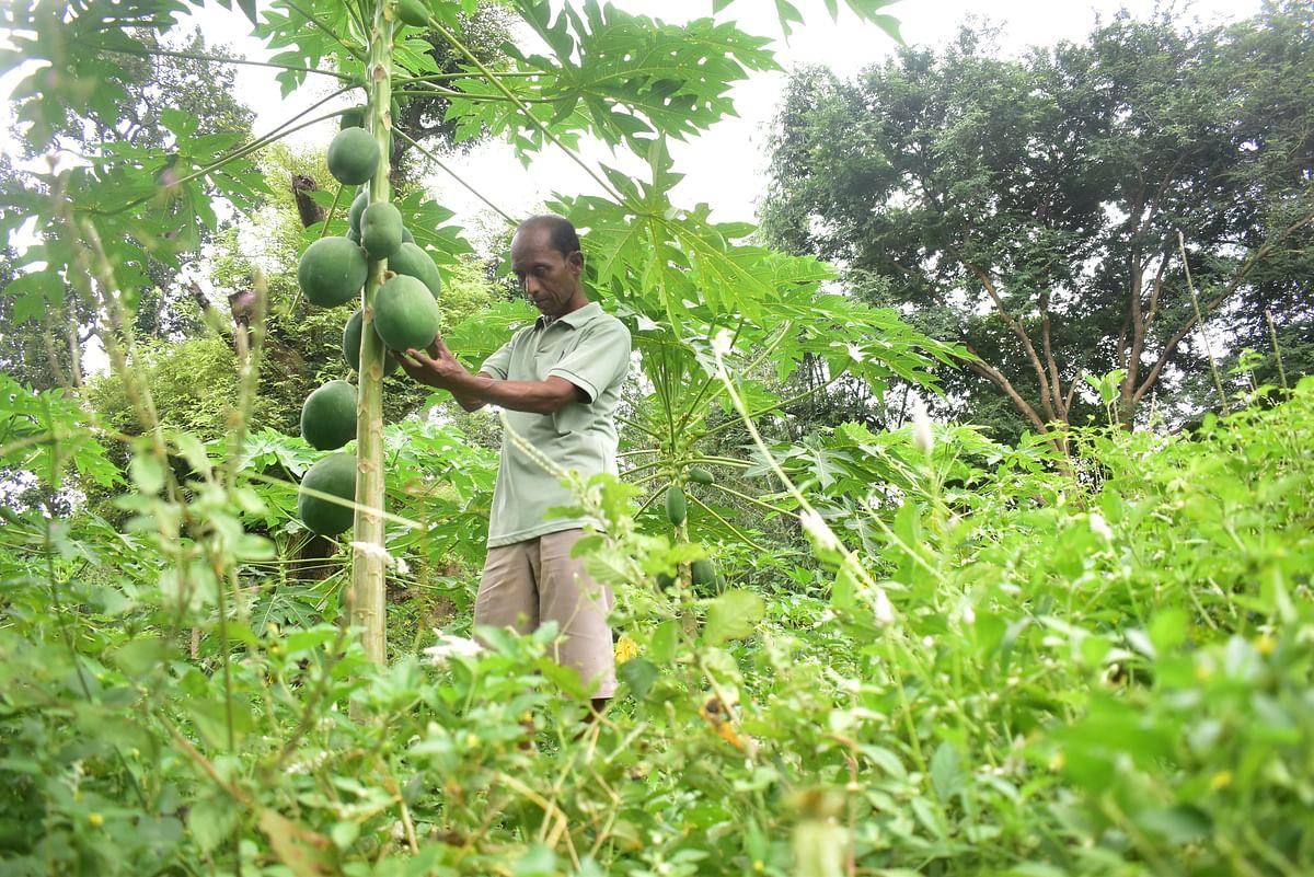 झारखंड के पश्चिमी सिंहभूम में 25 एकड़ में किसान कर रहे पपीते की खेती, इस किस्म का कर रहे प्रयोग