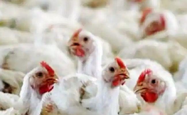 Bird Flu : यहां मारी जाएंगी 1.66 लाख मुर्गियां, बर्ड फ्लू का खौफ बढ़ा