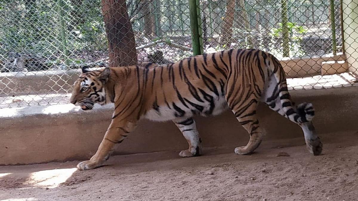 Jharkhand News : रांची में बाघ दिखने के दावे से दहशत में लोग, जानें इसमें कितनी है सच्चाई
