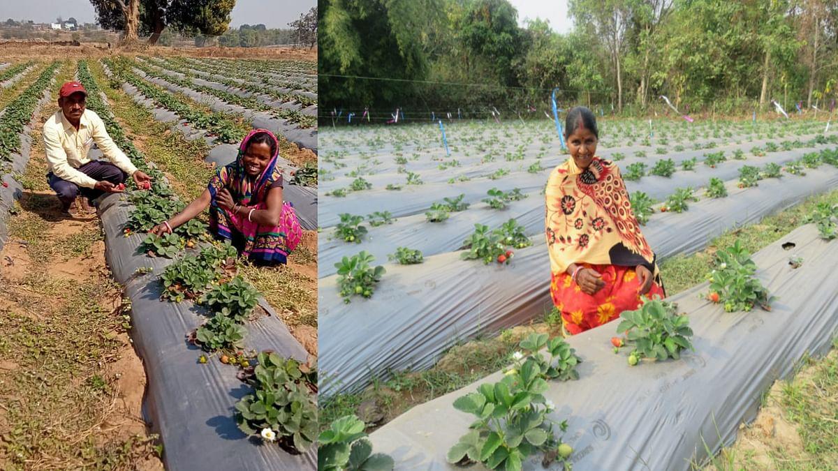 झारखंड के किसानों में स्ट्रॉबेरी की खेती का बढ़ा रुझान, प्रति एकड़ ढाई लाख तक की हो रही आमदनी