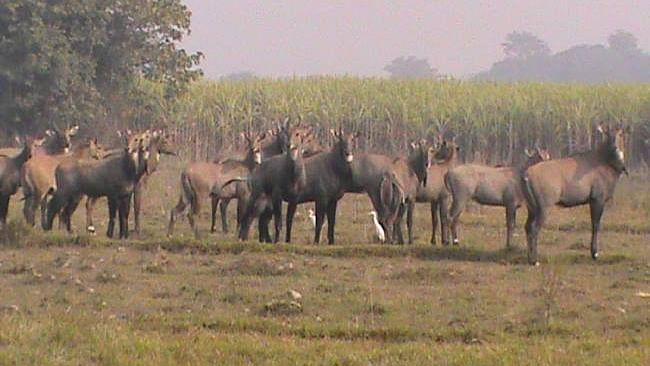 फसलों को बचाने के लिए नीलगायों की नसबंदी कराएगी बिहार सरकार, पकड़ने के लिए चलेगा अभियान