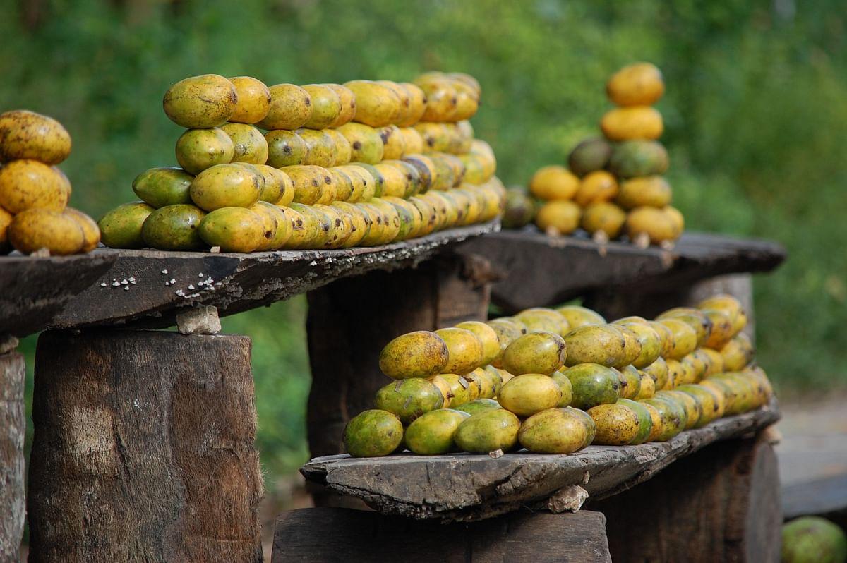 गुमला में बीजू आम, जामुन व पुटटू की खूब डिमांड, जानें अभी क्या है इसकी कीमत