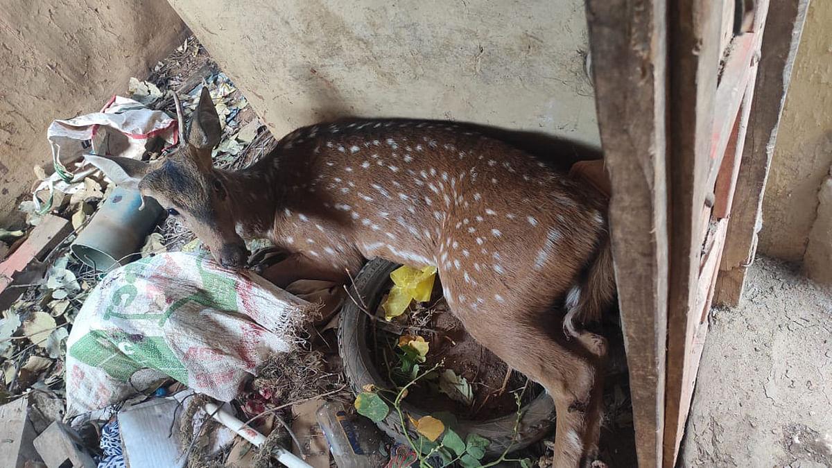 जंगल से भटक कर गिरिडीह के बरवाडीह गांव पहुंचे हिरण पर कुत्तों का हमला, कुछ देर में हुई मौत, जानें पूरा मामला