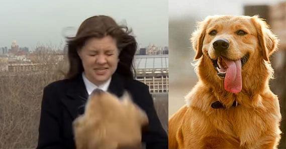 न्यूज एंकर का माइक्रोफोन लेकर भाग खड़ा हुआ  Golden Retriever ब्रीड का ये कुत्ता, सोशल मीडिया पर Viral हुआ Funny Video