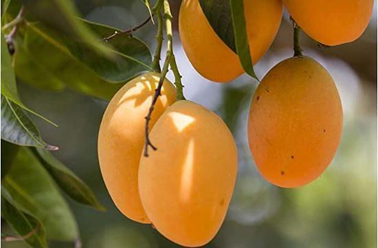 Mango Exports : जापान, दक्षिण कोरिया, ऑस्ट्रेलिया और मॉरीशस पहुंचेगी UP और बिहार के आमों की मिठास