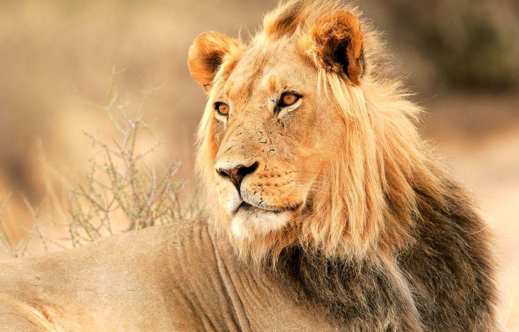 Coronavirus in Animals: कोरोना की चपेट में आये जानवर, इस जू के 8 शेर कोविड पॉजिटिव, आरटी-पीसीआर टेस्ट में आये चौंकाने वाले नतीजे