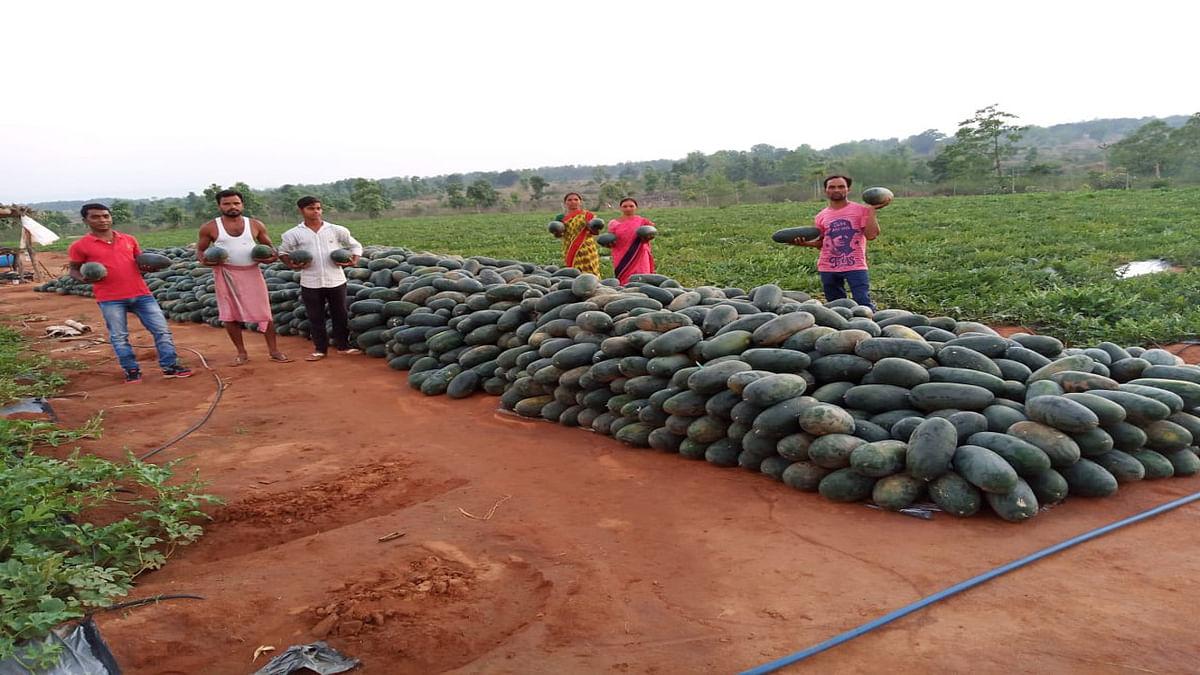 बेमौसम बारिश और खरीदार नहीं मिलने से बोकारो के कंडेर गांव में 85 टन तरबूज खेतों में पड़ा, किसान परेशान