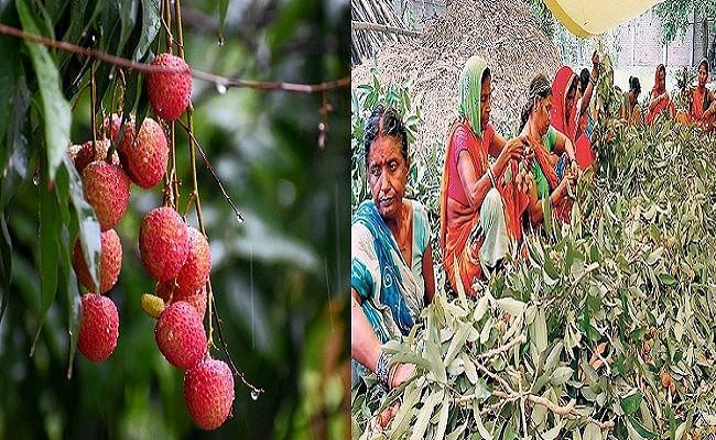 Yaas Cyclone Effect : मुजफ्फरपुर की शाही लीची पर तूफान की मार का डर, नुकसान की आशंका से किसानों की चिंता बढ़ी