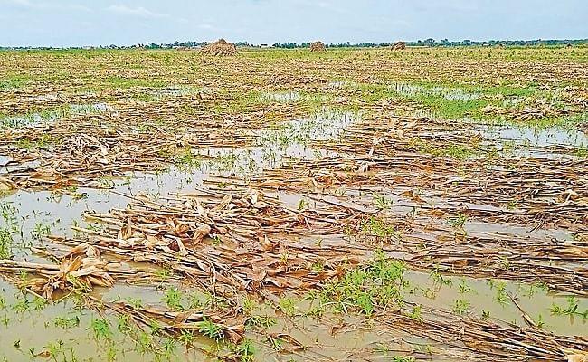 Yaas Cyclone Effect: लक्ष्य से अधिक हुई थी खेती, लेकिन तूफान से तबाह हुआ कोसी का गोल्डेन क्रॉप मक्का, देखें तसवीर
