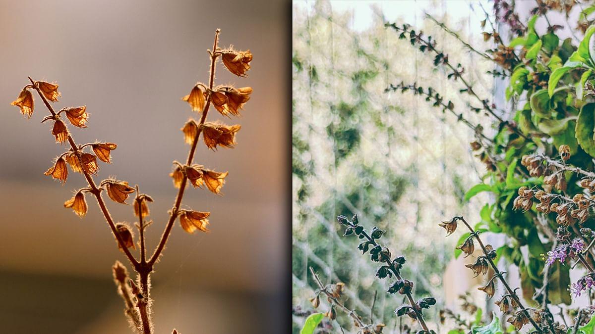 Tulsi Vastu Tips: तुलसी के पौधे का सूखना बन सकता है आपके निर्धन होने का कारण, घर में आने वाली विपदा का संकेत पहले ही दे देती है मां तुलसी