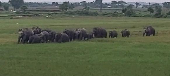 गजराज के कारण बंगाल में खौफ, जलपाईगुड़ी में हाथियों के झुंड से सहमे लोग, वन विभाग की टीम तैनात
