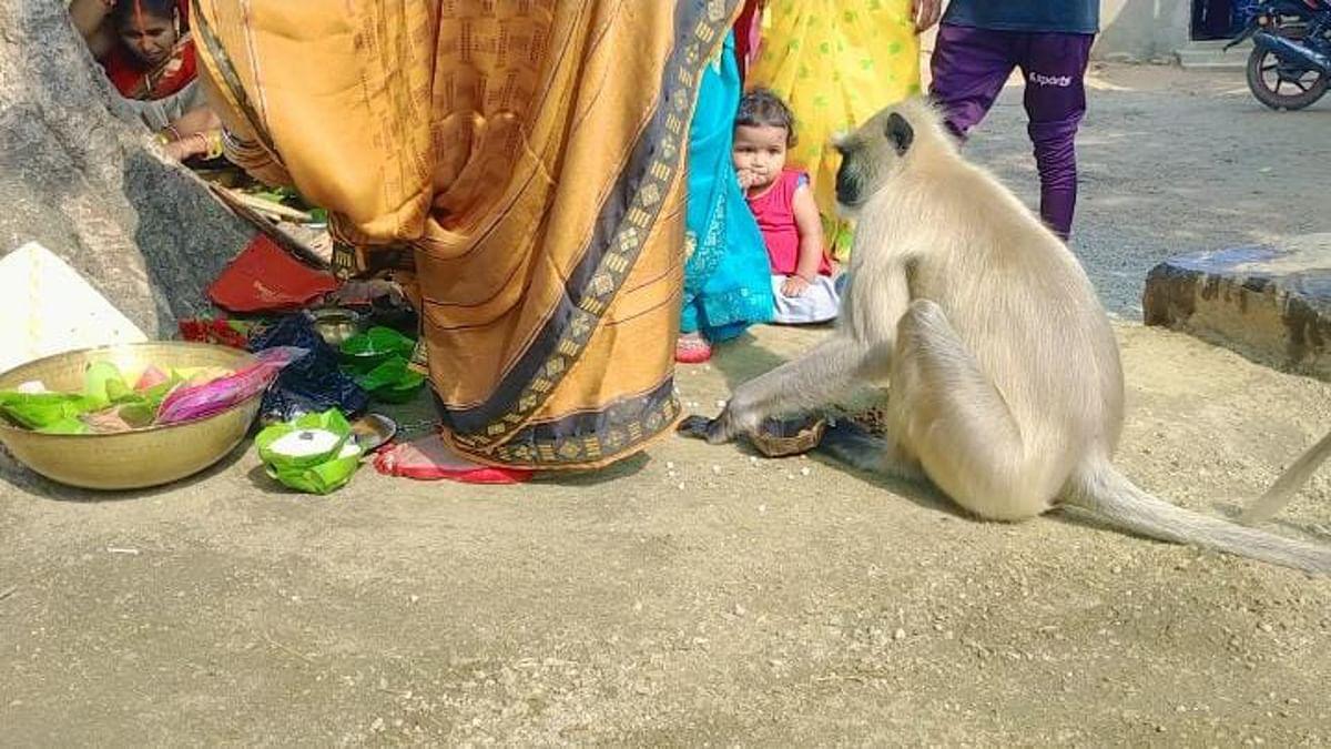 Jharkhand news : वट सावित्री पूजा में सुहागिनों से प्रसाद मांग कर खाता लंगूर.
