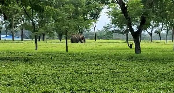 हाथी के आतंक से सहमा बंगाल, झाड़ग्राम में एक की मौत, सिलीगुड़ी जिले के चाय बागान में खौफ