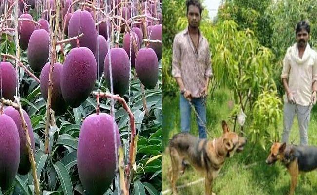 दुनिया के सबसे महंगे Miyazaki mangoes की सुरक्षा के लिए रखें गए 4 गार्ड और 6 कुत्ते, जाने क्या है इस फल की खासियत