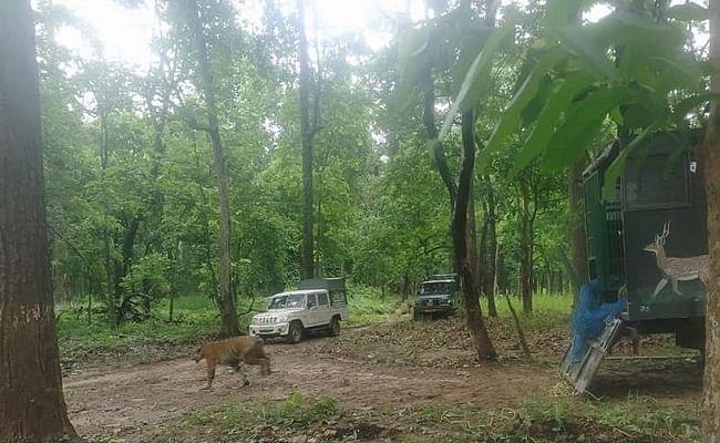 चंपारण के जंगल से भटकर मानव आबादी क्षेत्र में घुसा बाघ, काफी मशक्कत के बाद किया गया रेस्क्यू