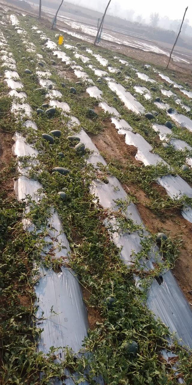 1 लाख रुपये कर्ज लेकर शिक्षित बेरोजगार संतोष ने की थी तरबूज की खेती, लॉकडाउन व बेमौसम बरसात ने तोड़ी कमर, पूंजी डूबने से आहत किसान का छलका दर्द