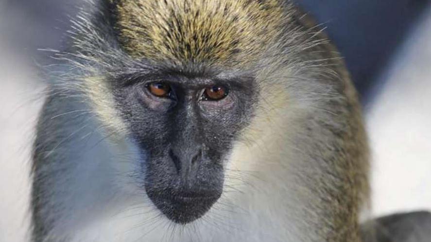 Monkeypox Virus: चाइना से आया एक और खतरनाक Monkey B Virus, कोरोना, स्मॉलपॉक्स से मिलते जुलते है इसके लक्षण