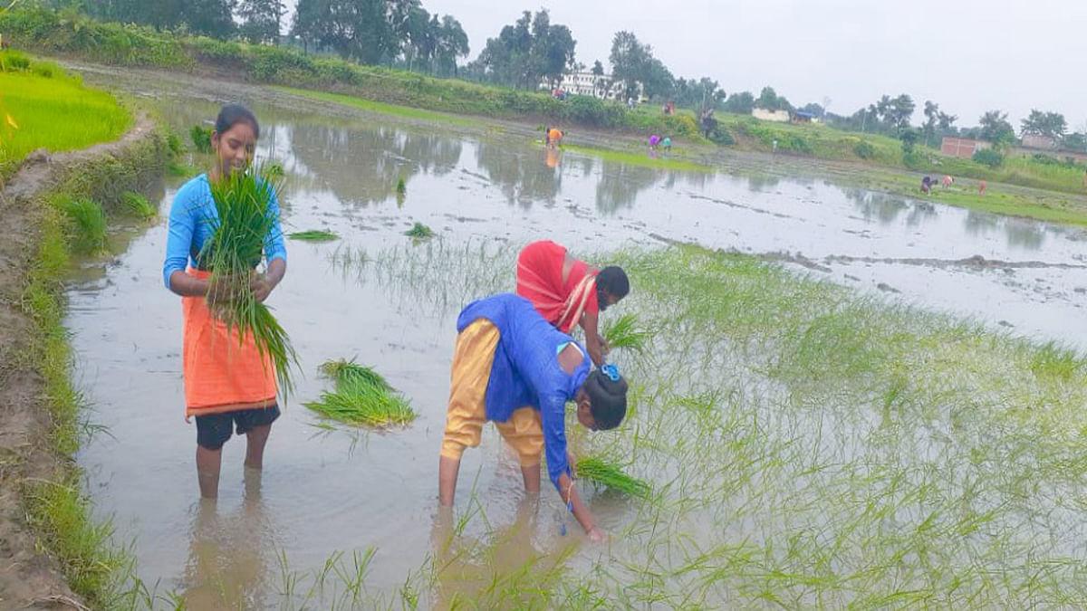 गुमला जिला मकई की खेती में आगे तो धान की खेती में लक्ष्य के करीब
