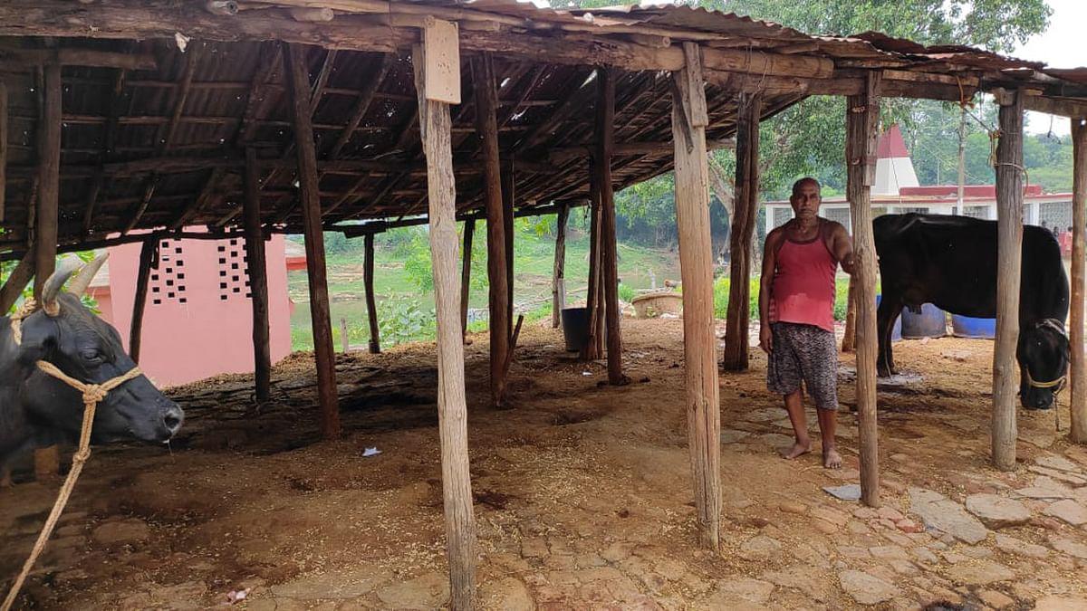 चाईबासा में सक्रिय है मवेशी चोर गिरोह, 15 दिन में दर्जन भर गाय-भैंसों की हुई चोरी