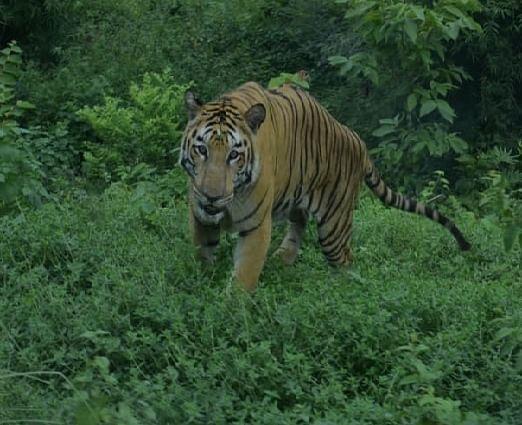 जू सफारी में  जब CM नीतीश कुमार के सामने  आया शेर, तस्वीरों में देखिए फिर क्या हुआ...