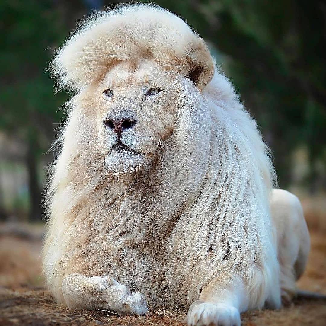 सपने में शेर को देखने से आपके जीवन में सुख शांति आएगी