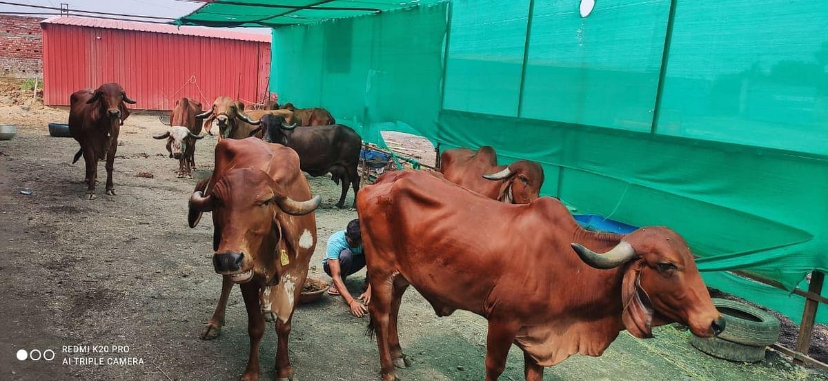 झारखंड में किशन ने शौक से शुरू किया गौपालन, गिर गाय के दूध की इस वजह से बढ़ने लगी डिमांड