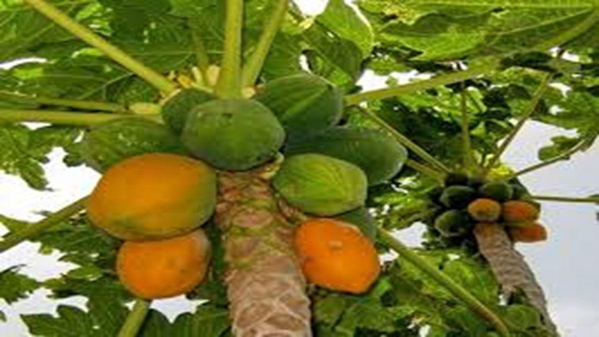 फलों की मिठास और फूलों की सुगंध बिखेर रहे झारखंड के खेत, हॉर्टिकल्चर खेती को बढ़ावा दे रही हेमंत सरकार