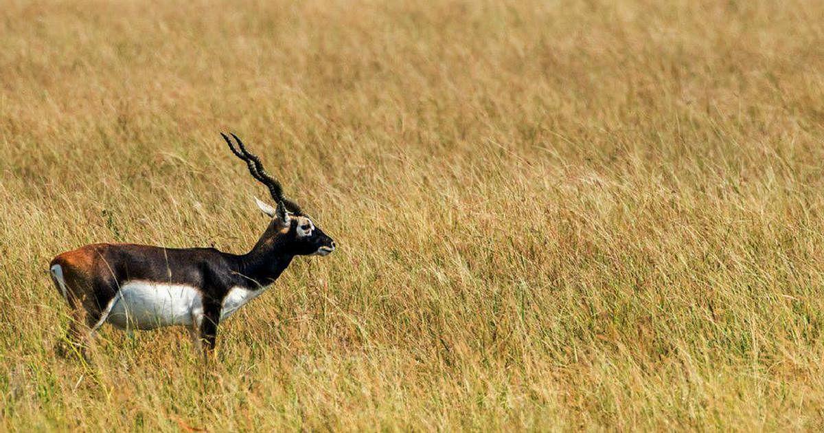 Bihar News: काले हिरणों को बचाने के लिए गंभीर हुआ बिहार, बक्सर के12 एकड़ क्षेत्र में बनेगा रेस्क्यू सेंटर