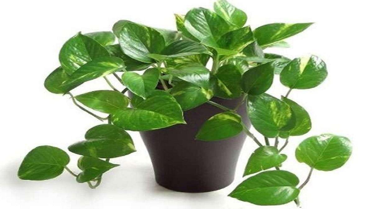 Money Plant Tips: धन की कमी दूर करने के लिए घर की इस दिशा में लगाए मनी प्लांट, जानें नकारात्मक प्रभाव