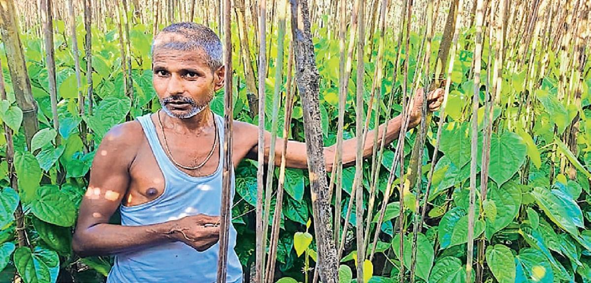 मिथिला में अब भी घुली है ताराबाई व मलतौनी पान की मिठास, बिहार में रोजाना 20 लाख  मिथिला के पान की बिक्री