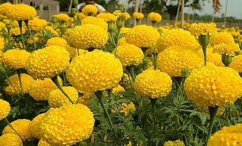 शुभ होने के साथ ही बहुत काम के हैं गेंदे के फूल, कारण जानकर अपने बगीचे में उगाने के लिए हो जाएंगे मजबूर !