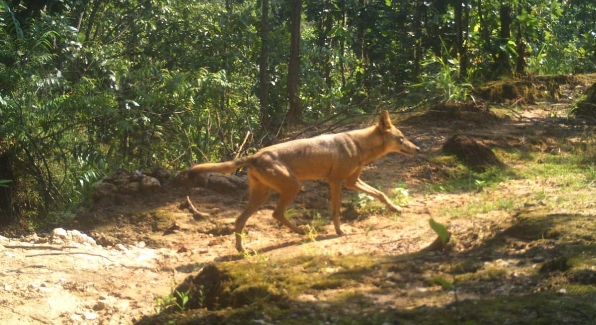 Jharkhand News : झारखंड में देश के इकलौते भेड़िया अभयारण्य में दिखा भेड़िया, कैमरे में कैद हुई तस्वीर