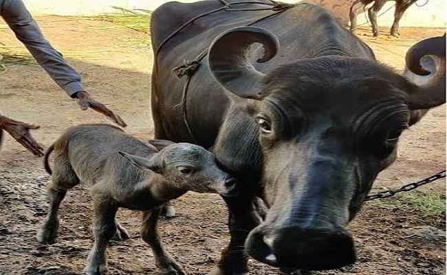 देश में भैंस की नस्ल के पहले IVF बछड़े का जन्म, पीएम मोदी ने भी की थी चर्चा