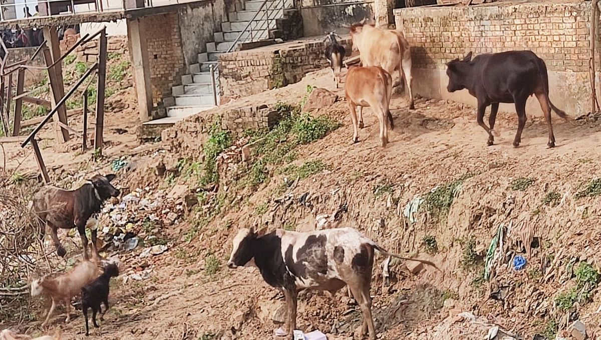 Varanasi News: शिव नगरी काशी में सांड का आतंक, बुझ गया एक और घर का चिराग, 'भांग' पीकर बेसुध नगरपालिका