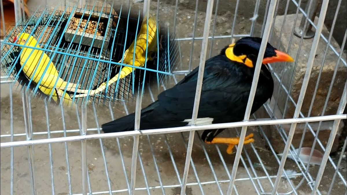 [PIL against illegal bird trade] Birds without mature flight feathers cannot be captured for trading in any form: Calcutta High Court