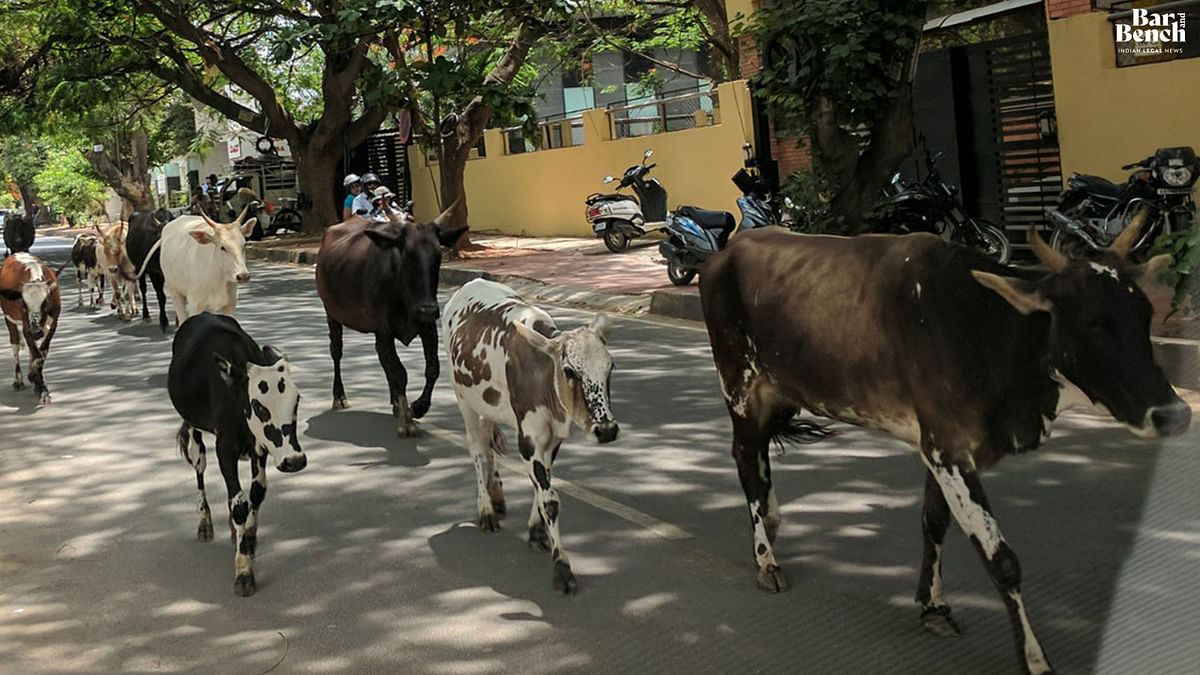 [Breaking] Immense contribution by Bulls to dairy farming, agriculture: State defends Prevention of Cow Slaughter Act before Karnataka High Court