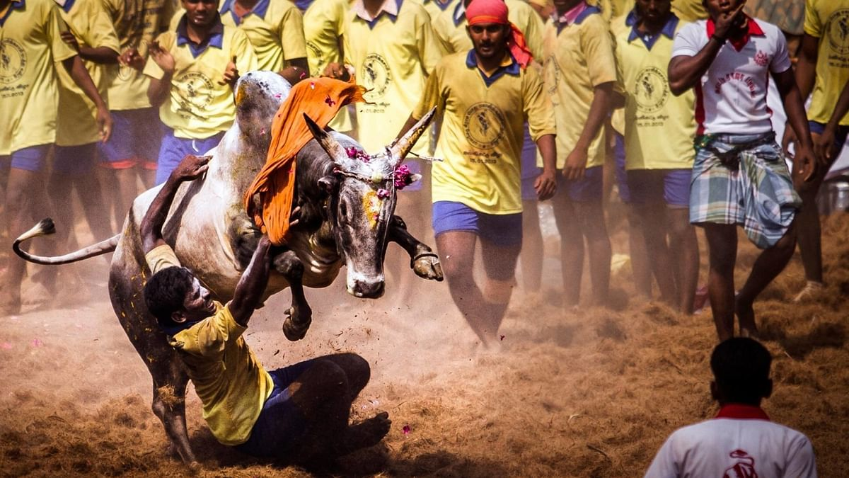 Only native bulls should be allowed in Jallikattu; avoid artificial insemination which deprives cows, bulls pleasure of mating: Madras High Court