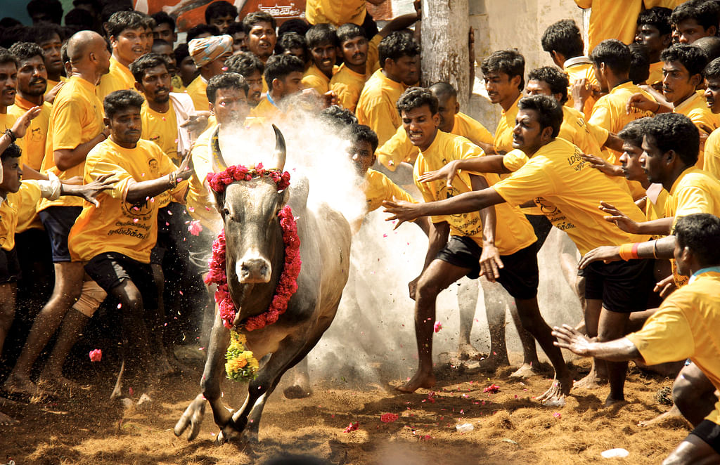#Lawyer's Lingo: Jallikattu and the Centre's decision to take the bull by the horns