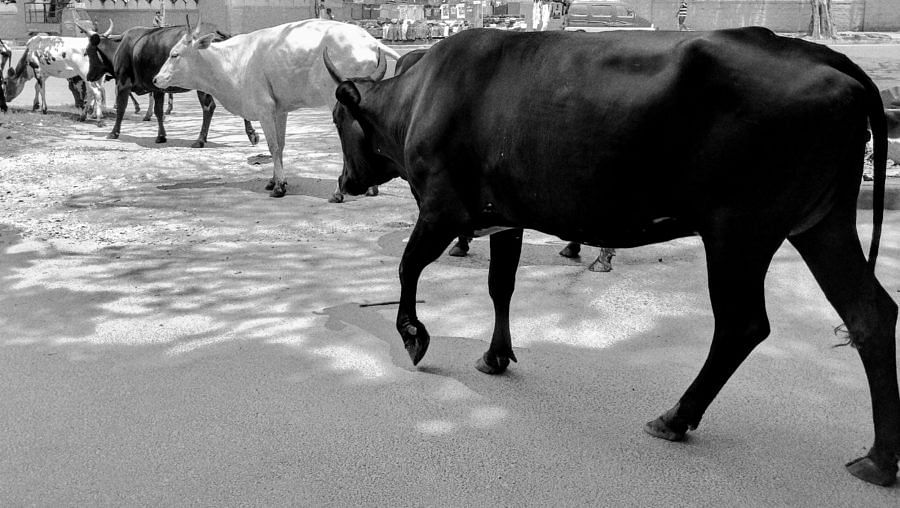 Cattle Slaughter, Highway Liquor Ban, DU protests & more