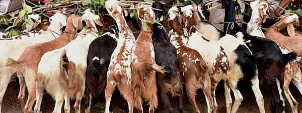 Calcutta HC disposes of PIL concerning animal slaughter during Bakri Eid with direction to abide by earlier guidelines